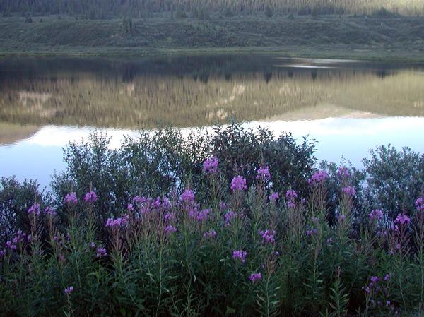 Lake with fire weed